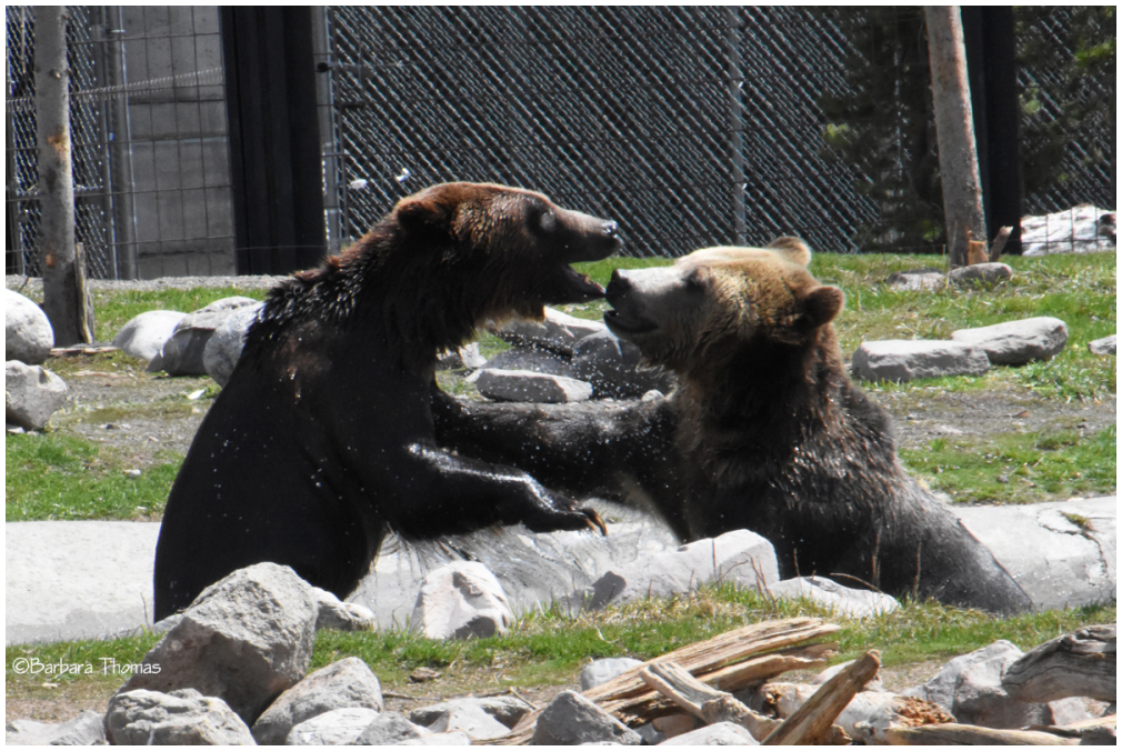 Play Fighting Bears