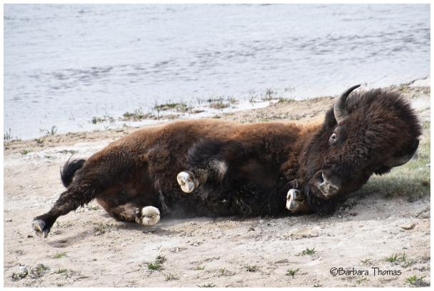 Buffalo Roll