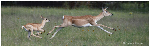 Running Blackbuck Antelope