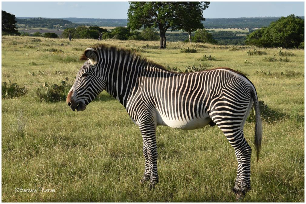 Grevy's Zebra Name