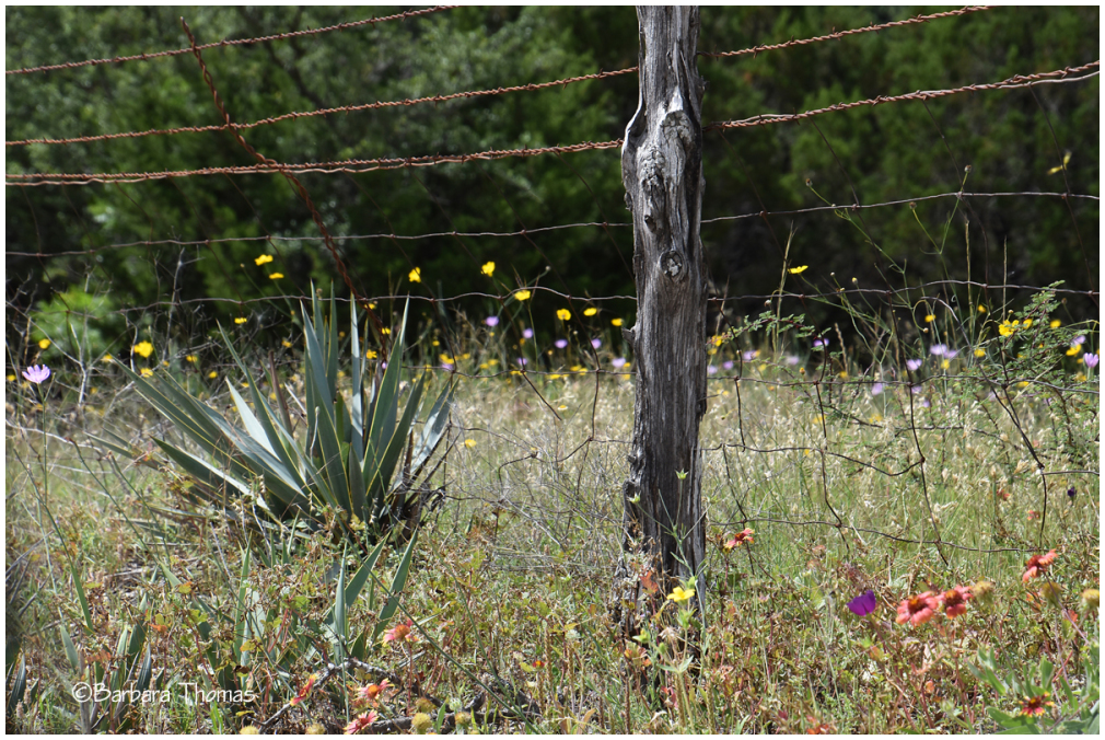 Fence Post, Barb Wire, and Wildflowers