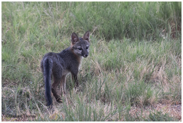 Young Gray Fox