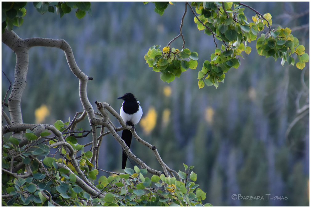 Magpie In The Aspen Leaves