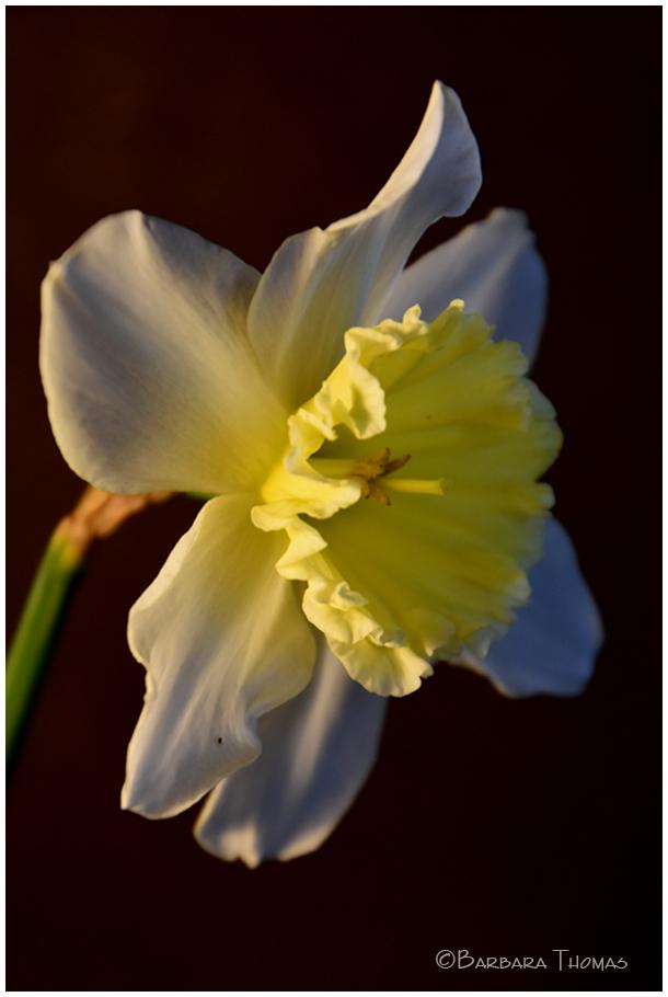 Daffodil #3