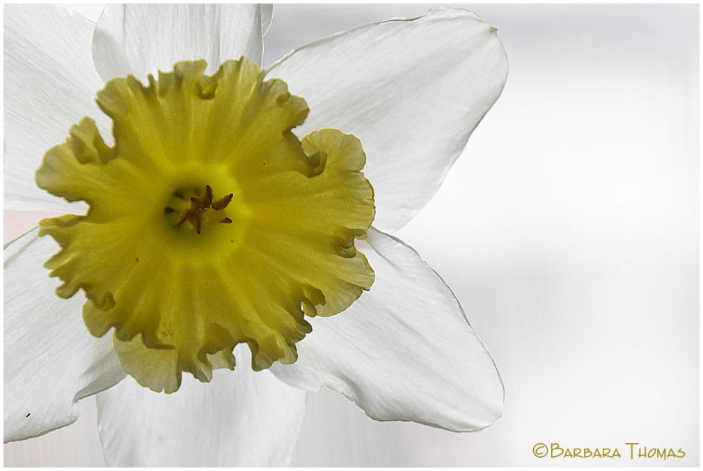 Daffodil #5
