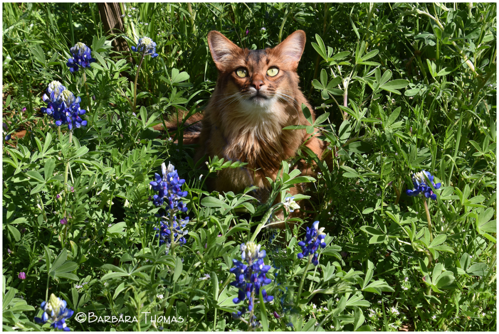 Rocky In The Bluebonnets