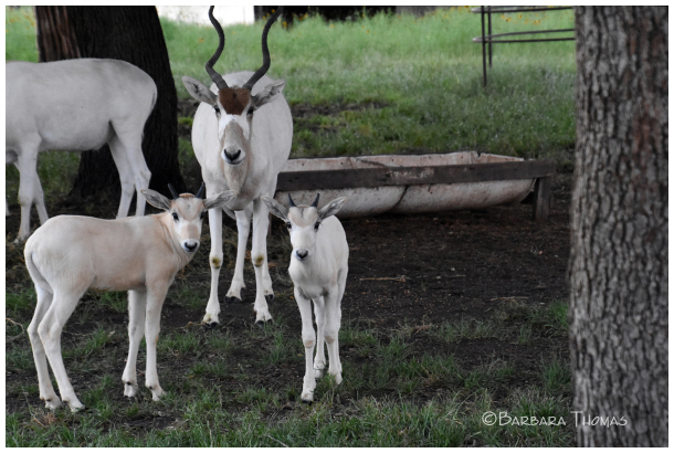 Addax Antelope Family