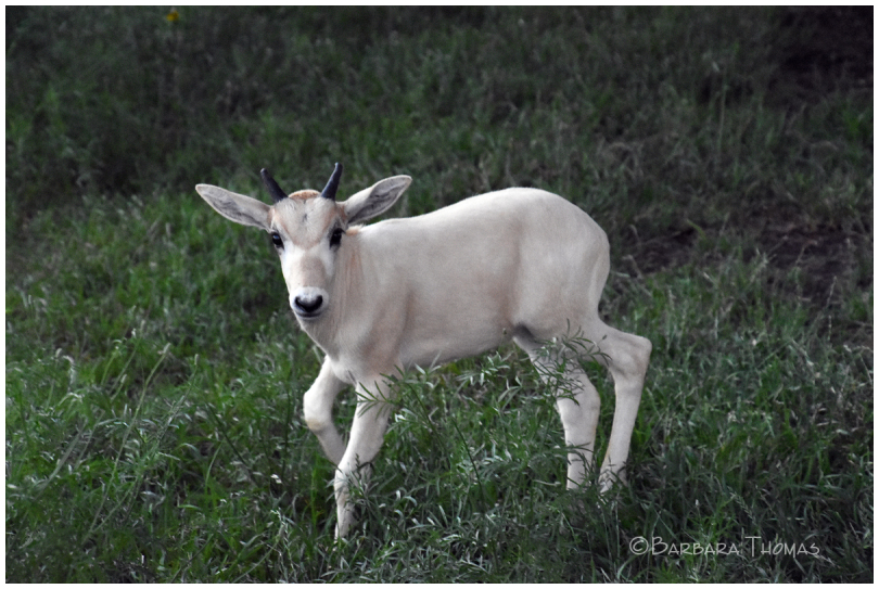 Young Addax