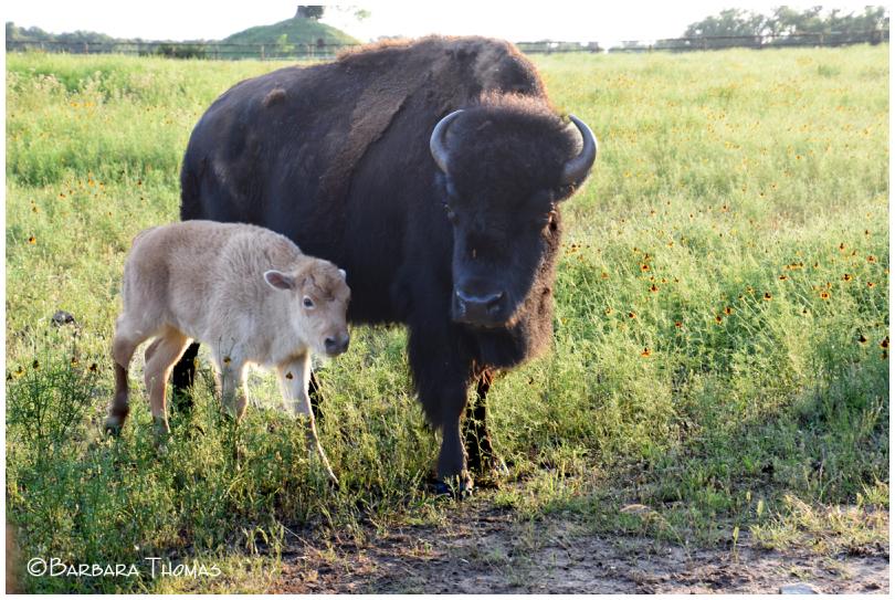 Buffalo White Baby
