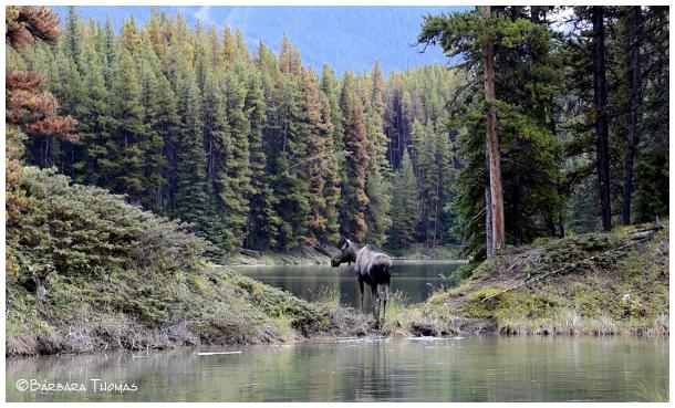 Moose & Scenery