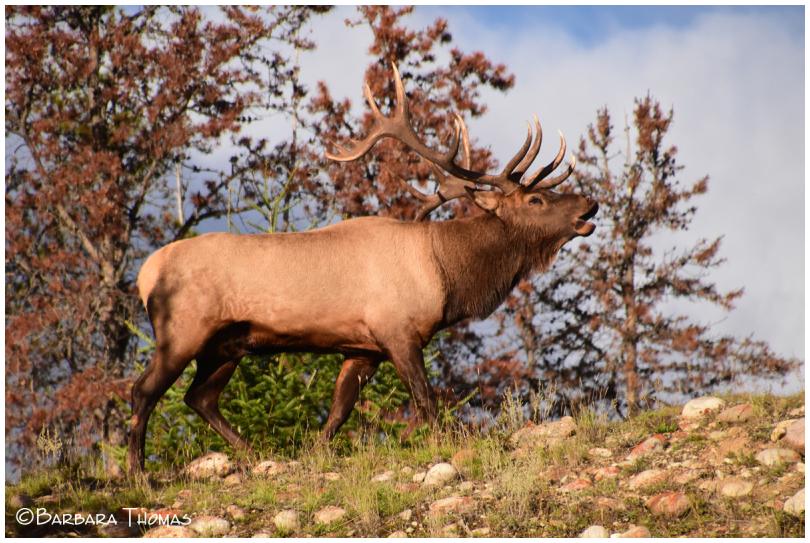 Elk Bugling