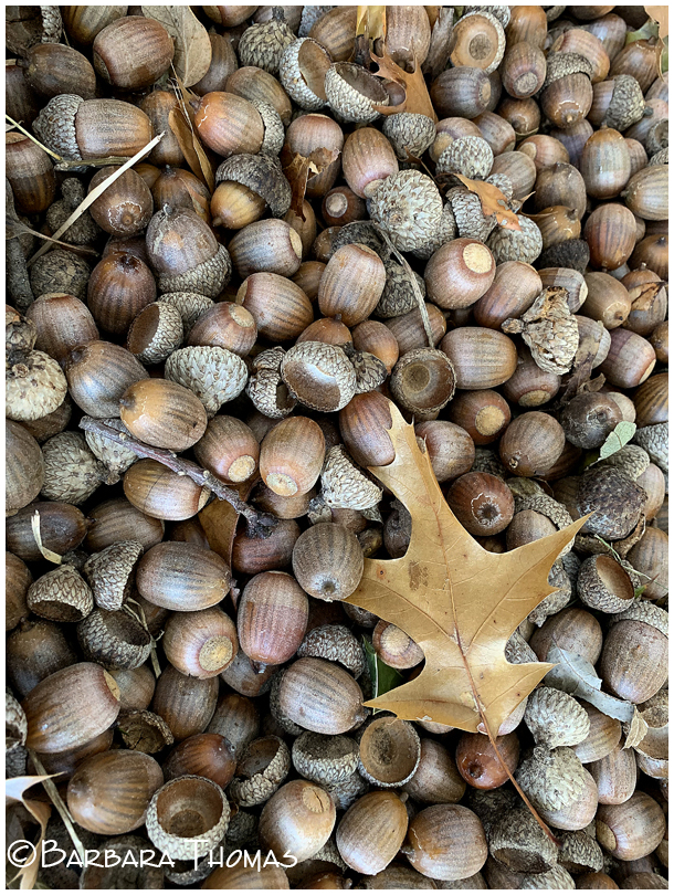 Too Many Acorns