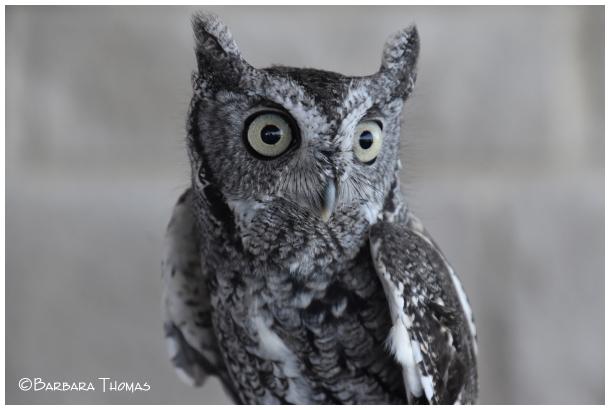 SweetPea' – Eastern Screech Owl