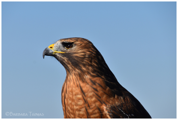 Pippin' – Red-shouldered Hawk