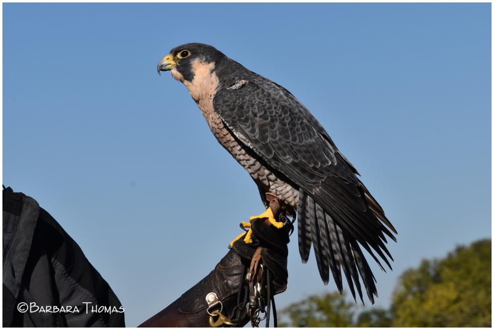 'Xena' – Peregrine Falcon