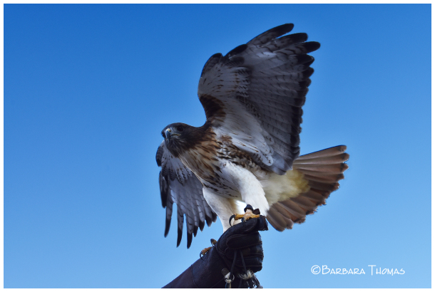 'Orion' – Red-tailed Hawk