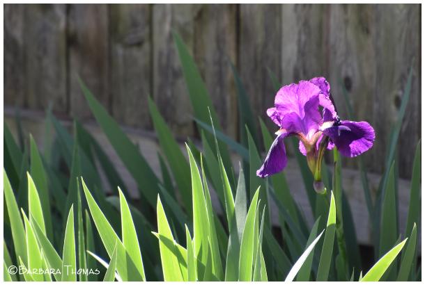 First Iris Of Spring