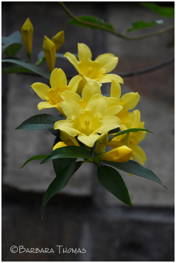 Carolina Jessamine Bloomed