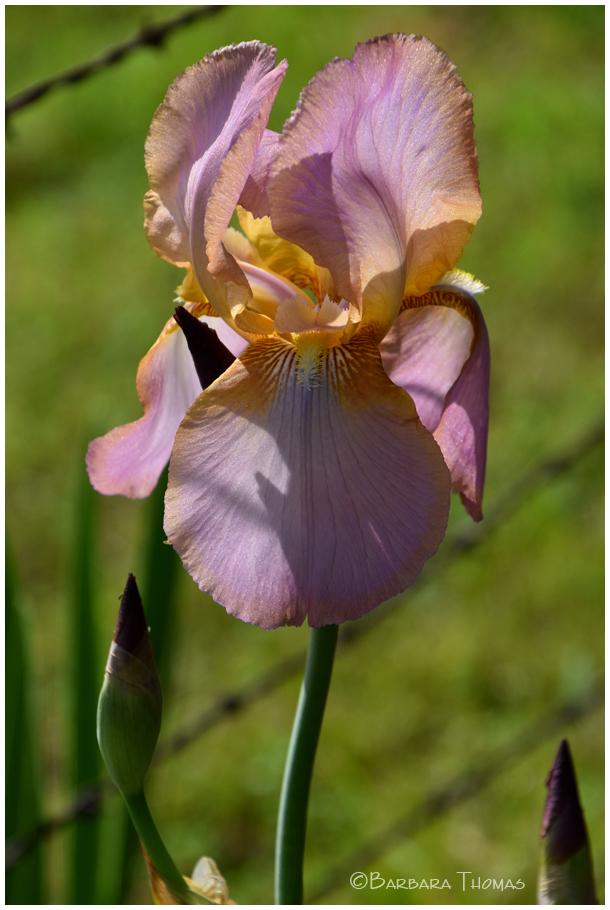 Iris & Barbwire