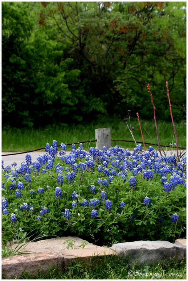 Bluebonnet Patch
