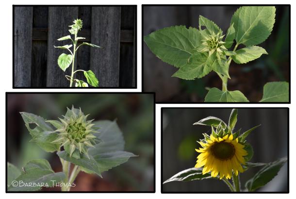 A Sunflower's Journey