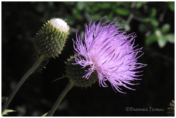 Purple Thistle