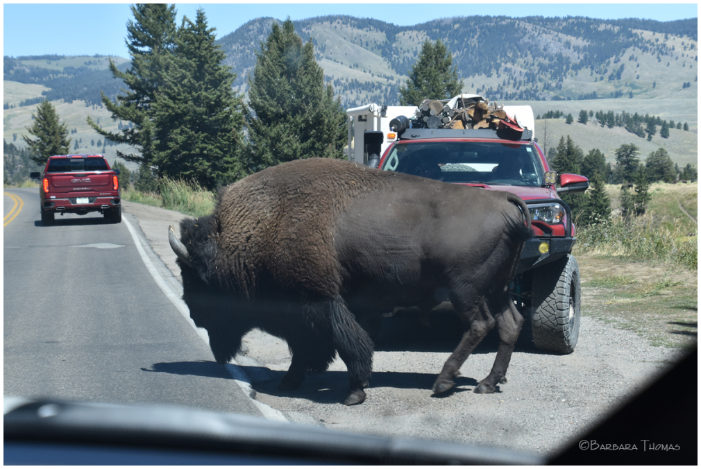 Bison Have The Right-of-way