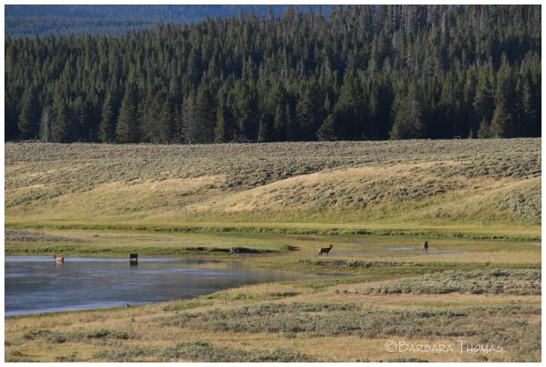 Elk In The River