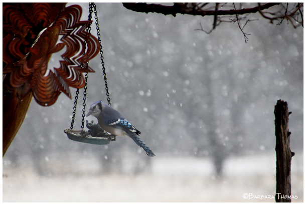 Snow Day Blue Jay