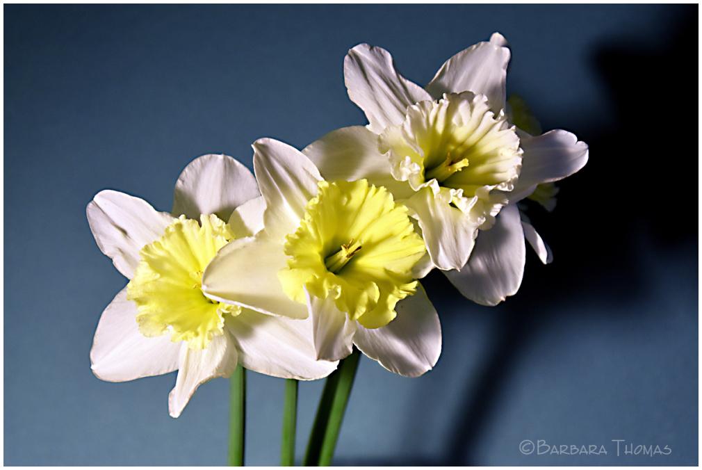Daffodils - 4