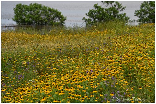 Wildflowers & Floodwater