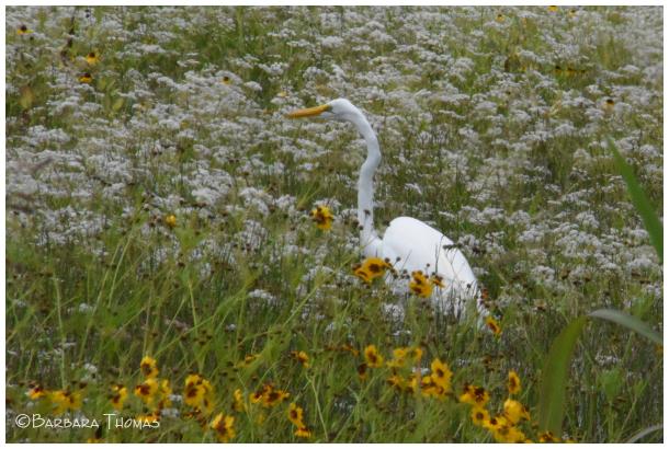 Great Egret & Wildflowers
