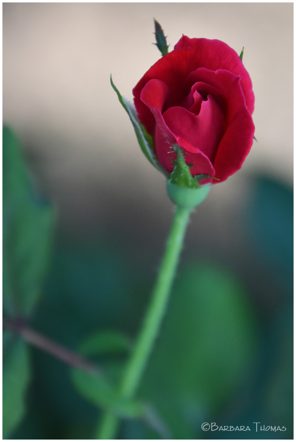 Single Summer Rose
