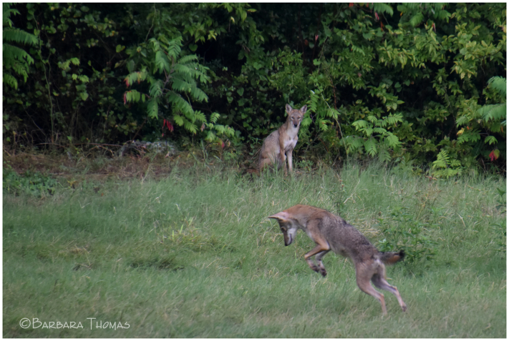 Coyotes - 1
