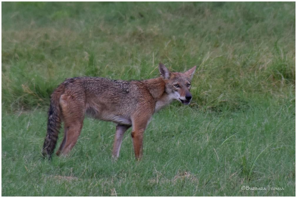 Coyote - 2