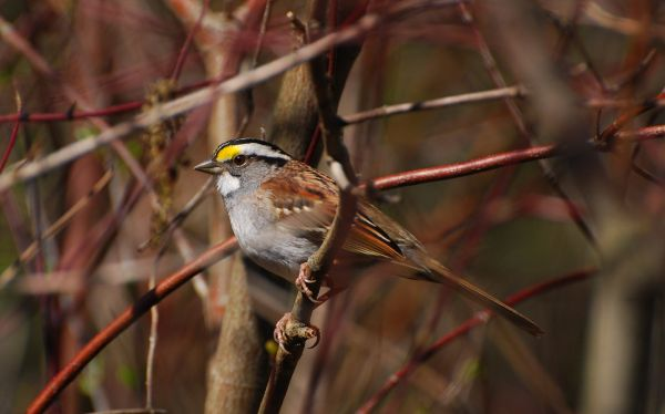 Perched white thoated sparrow