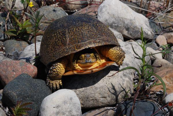 Blandings Turtle on Manitoulin Island