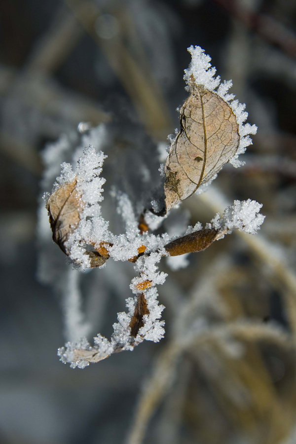 Ice Crystals on Last Years Growth