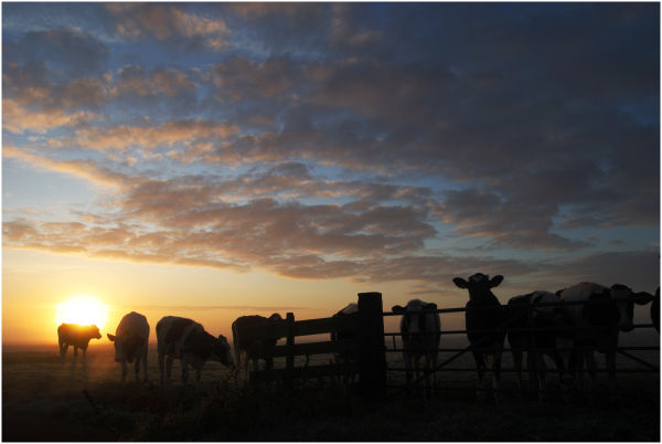 Cows and Sunrise 3