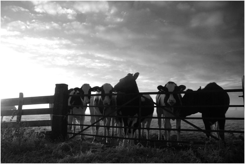 Cows and Sunrise