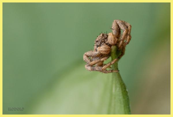 Aranya crang ( Spider crab)