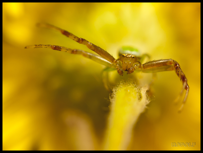 Diaea evenida (Thomisidae)