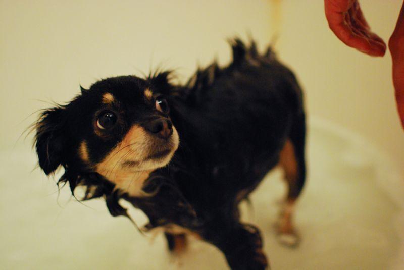Dog Chihuahua Ezma Bath