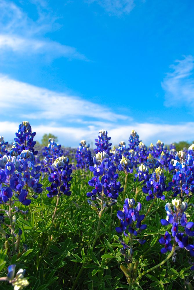 Bluebonnet Texas Spring Flower