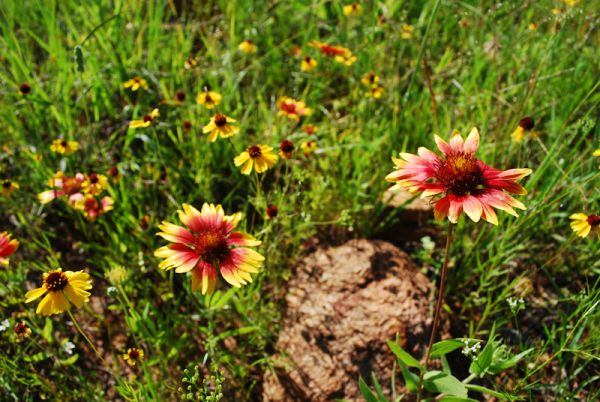 Flowers Wichita Mountains