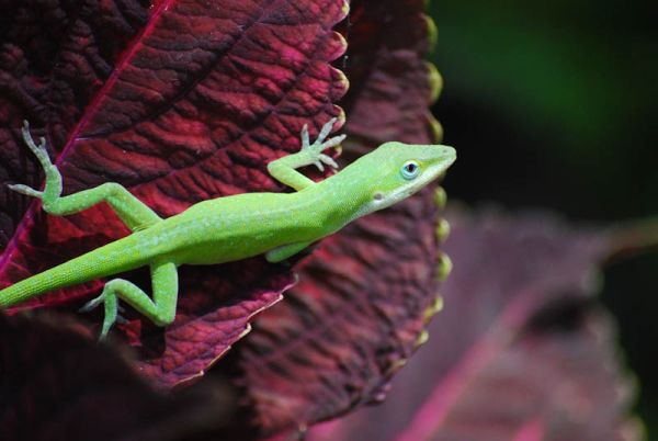 Anole Lizard Fort Worth Botanic Garden