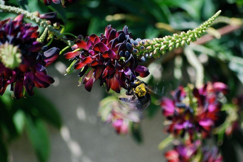 Black Bumblebee Bee Insect Fort Worth Botanic Gard