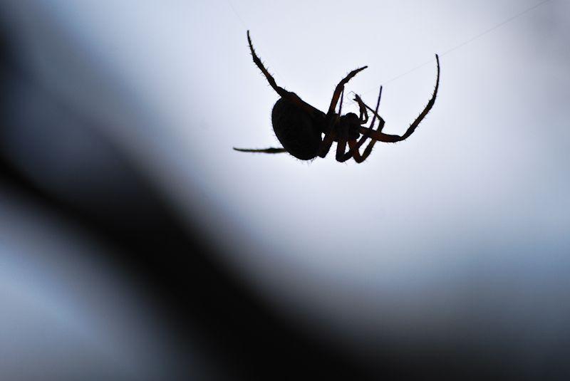 Spider silhouette shadow