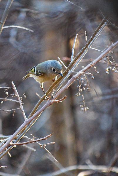 Vireo Bird Arbor Hills Park Dallas