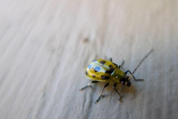 Beetle Insect Macro